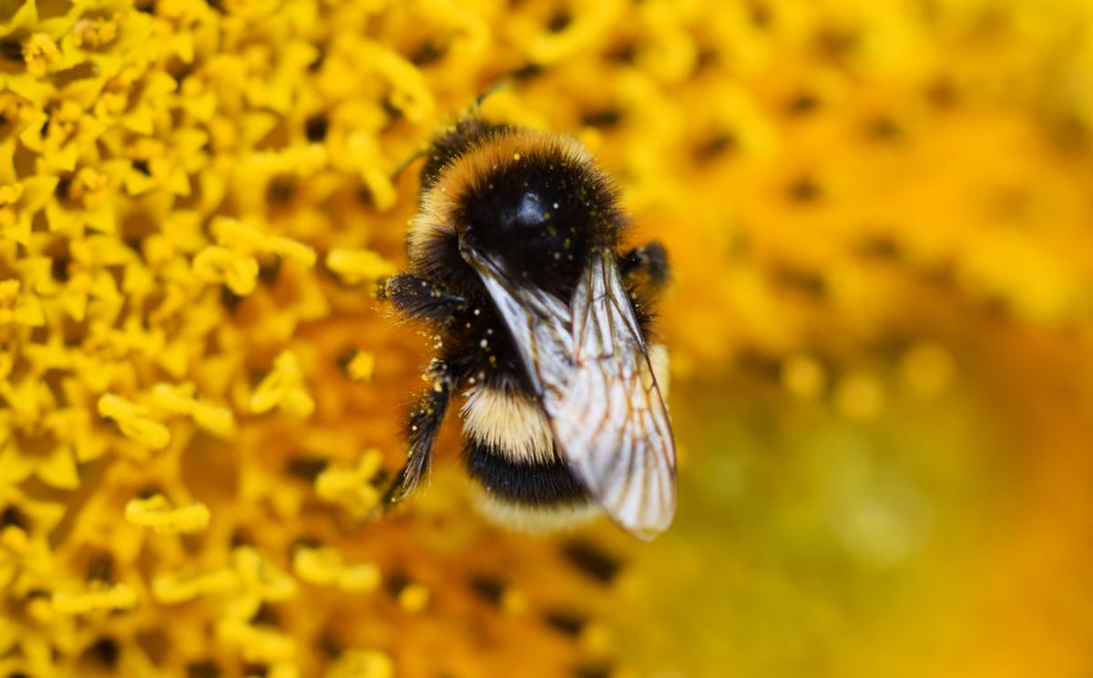 Nicht nur die allseits beliebten Honigbienen, auch Hummeln sind wichtige Bestäuber, denn sie fliegen schon bei niedrigen Temperaturen, wenn die Bienen noch im Stock bleiben.