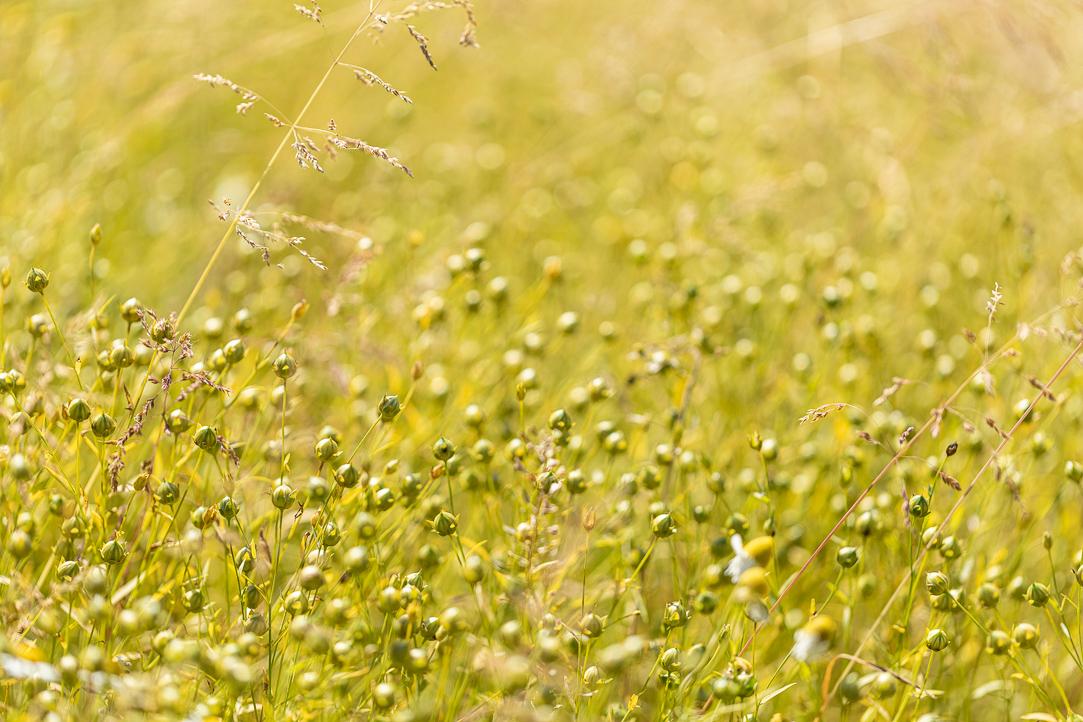Anhand von Untersuchungen auf Praxisflächen werden Nutzpflanzenexpertinnen und -experten der Universität Bonn die Effekte auf die Qualität von Leinsaat untersuchen. (Bildquelle: © Ölmühle Moog)