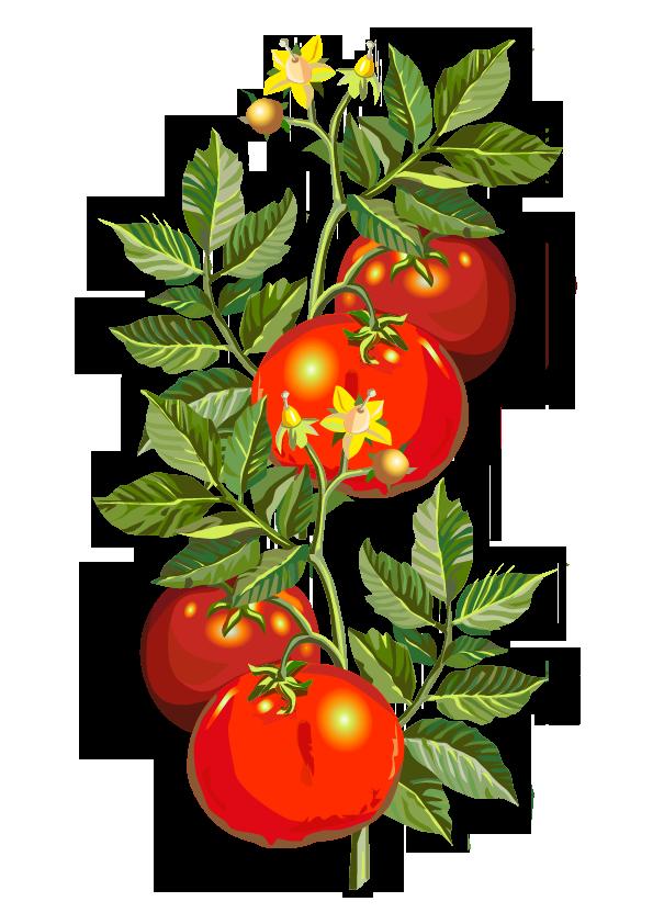 Tomate – Solanum lycopersicum