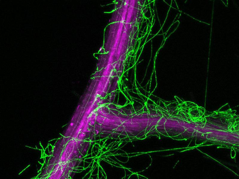 Mikroskopischer Ausschnitt einer Arabidopsis thaliana-Wurzel (violett), die mit Pilzgeflecht von Colletotrichum tofieldiae (grün) umgeben ist. Hier nicht zu erkennen: Das Geflecht befindet sich auch innerhalb der Wurzeln.
