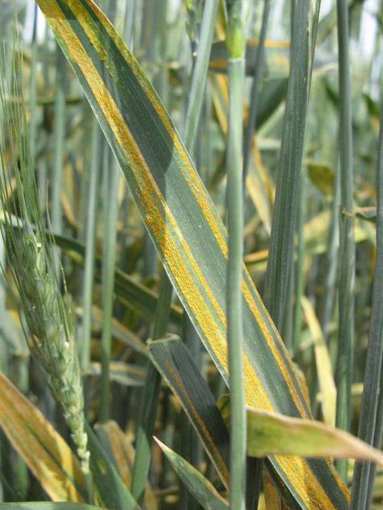 Gefürchtete Krankheitserreger: Pilze wie der Gelbrost verursachen hohe Ernte- und Qualitätsverluste bei Weizen.