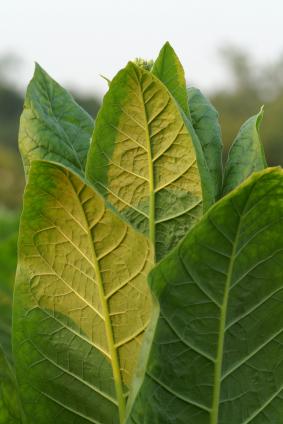 In den Blättern von Tabakpflanzen könnten bald Proteine für die Behandlung von Krebs produziert werden. (Quelle: © iStockphoto.com/ W Brian Watkins)