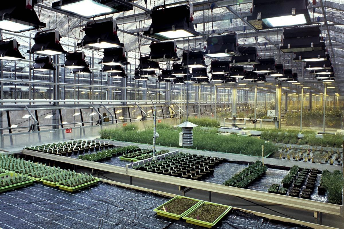 Arabidopsis im Gewächshaus. (Quelle: © MPI Potsdam)