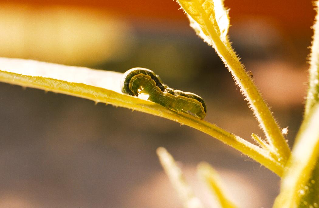 Auch Maispflanzen, nur entfernte Verwandte der Nachtschattengewächse, produzieren Abwehrpeptide, wenn sie von Raupen des Falters Spodoptera exigua angegriffen werden.