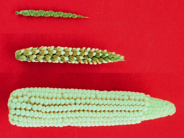 Das Bild zeigt (von oben) Teosinte, einen Mais-Teosinte-Hybrid sowie Mais. Während bei Teosinte die Samenkörner aus der Schale fallen, sobald sie reif sind, sitzen die Maiskörner fest am vergleichsweise großen Kolben.
