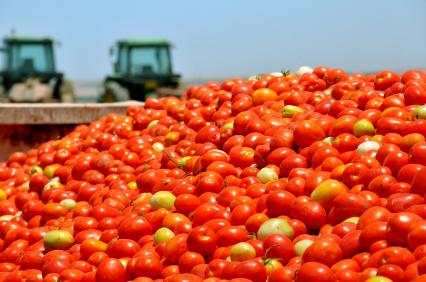 Die Nachfrage an Tomaten ist hoch - sie zählen zu den beliebtesten Gemüsesorten weltweit.
