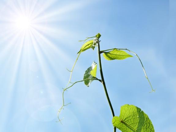 Pflanzen wachsen immer in Richtung des Sonnenlichts. Wie dieser Prozess abläuft, haben Wissenschaftler nun herausgefunden. (Quelle: © iStockphoto.com/shuchunke)