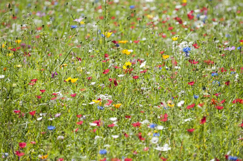 Blumenwiese: Bis zu einem Sechstel aller Arten könnten durch den Klimawandel aussterben. (Bildquelle: © Oskar - Fotolia.com)