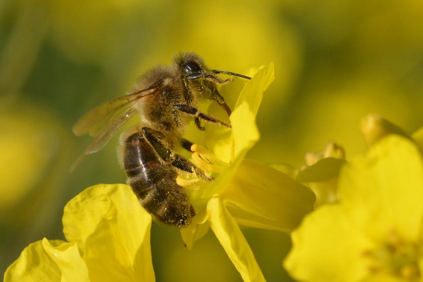 Honigbiene bei der Arbeit: Sie bestäubt gerade Raps. In der Natur ist sie dabei vielen Gefahren ausgesetzt. Neben natürlichen Feinden können ihr widrige Umweltbedingungen, aber auch der Mensch und landwirtschaftliche Praktiken zu schaffen machen.