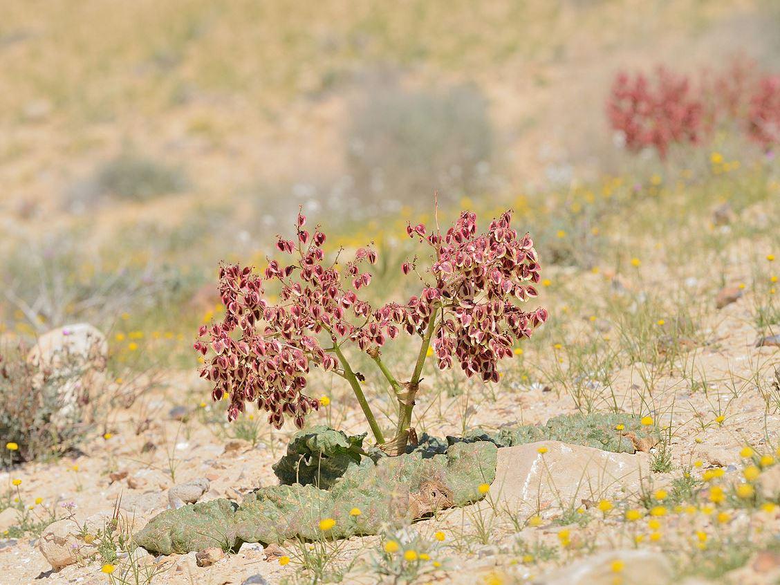 Wüstenrhabarber: Das Geheimnis des Überlebens in der Wüste steckt in den Blättern.