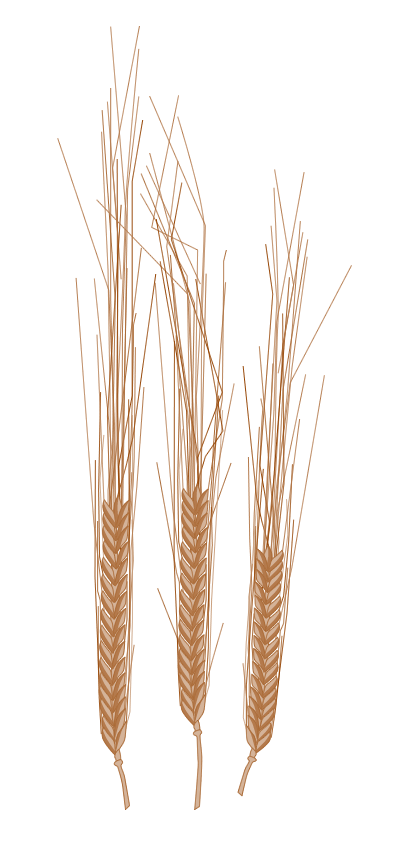 Gerste – Hordeum vulgare