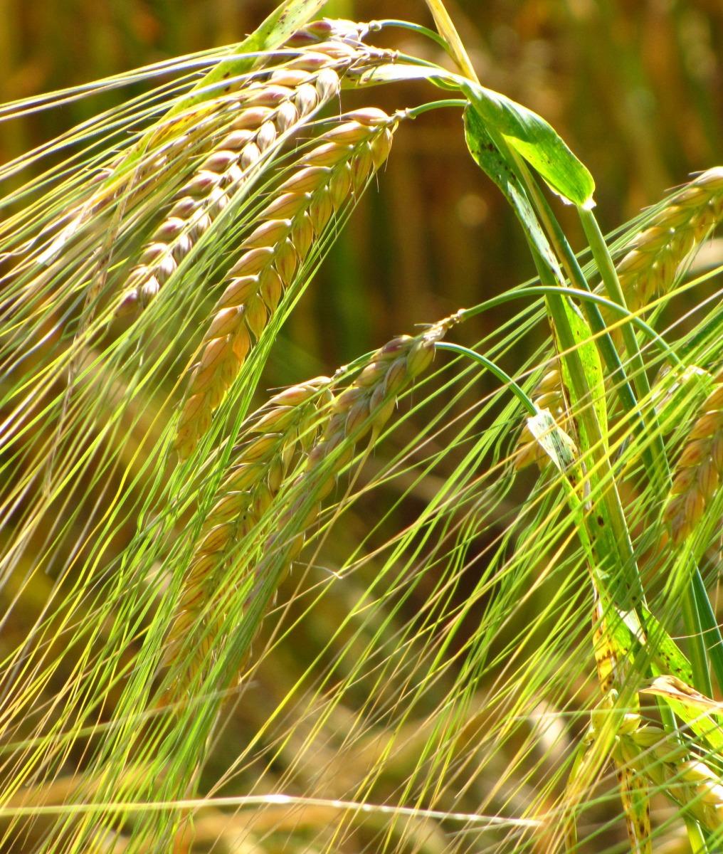 Unreife Gerstenpflanzen sind anfällig für Mehltau (Quelle: © Rainer Sturm / PIXELIO www.pixelio.de)