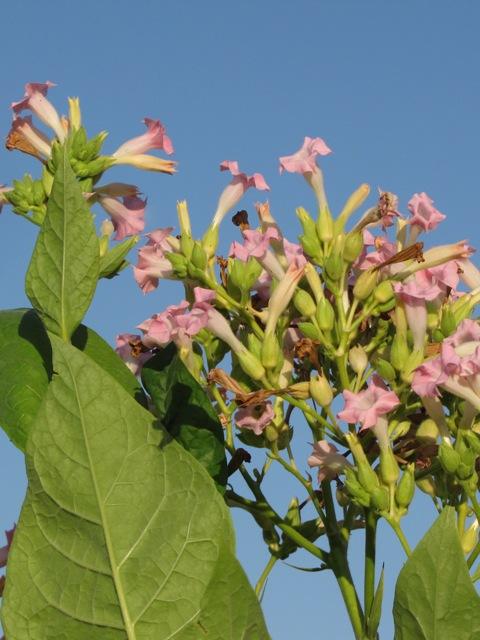 Tabakpflanzen produzieren flüchtige Stoffe, mit denen sie auch ihre Nachbarn vor Fraßfeinden warnen. (Quelle: © Annamartha / www.pixelio.de)