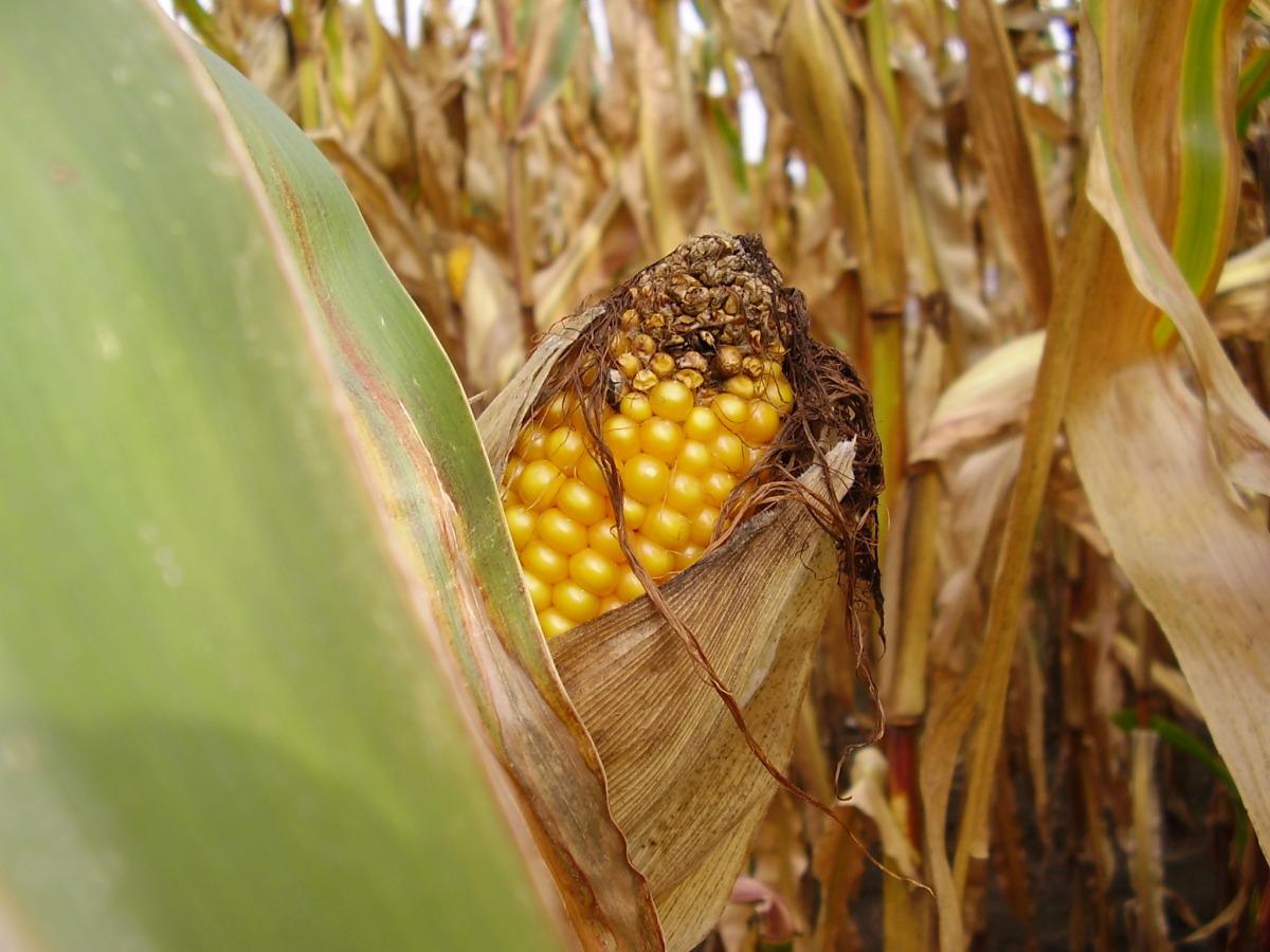 Die Pilze lassen die Blätter des Mais verdorren. Missernten können die Folge sein (Quelle:© Markus Kräft / pixelio.de).