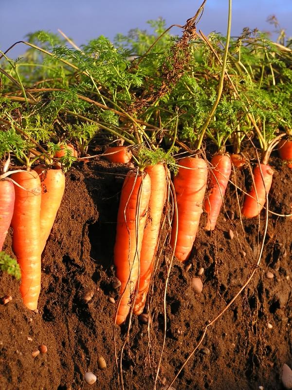 Gesundes Pflanzenwachstum braucht einen intakten Boden mit einer Vielfalt an Organismen.