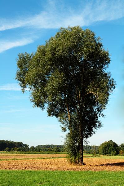 Weiden (hier: Silberweide) produzieren in ihrer Rinde den Pflanzenwirkstoff Salicyl. Dieser bildet die Grundlage für Acetylsalicylsäure, den Hauptbestandteil von Aspirin.