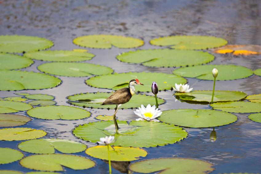 Zuerst teilen sich die Zellen rasant, dann erst vergrößern sie ihr Volumen und legen somit die endgültige Größe des Blattes fest. Auf riesigen Seerosenblättern finden sogar kleine Vögel Platz. (Quelle: © iStockphoto.com/ jordieasy)