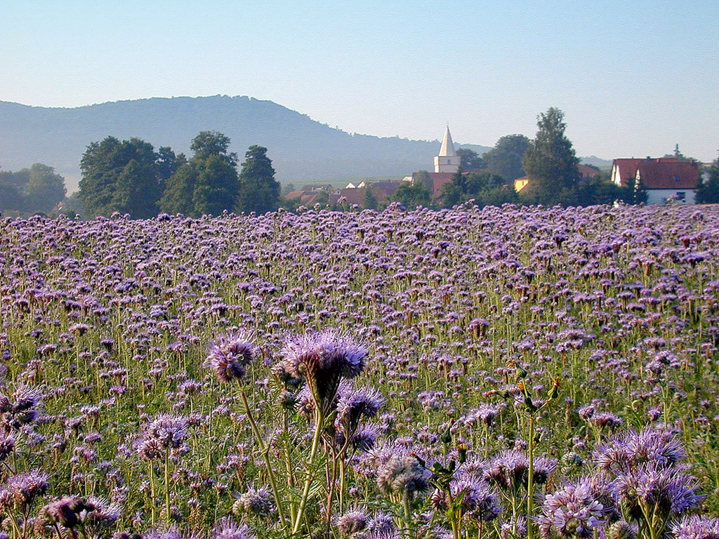 Pflanzen der Gattung Phacelia gehören zu den klassischen Gründüngungspflanzen. Da siereichhaltig Nektar und Pollen erzeugen, werden sie häufig von Honigbienen angeflogen, weshalb sie auch Bienenweide bezeichnet werden.