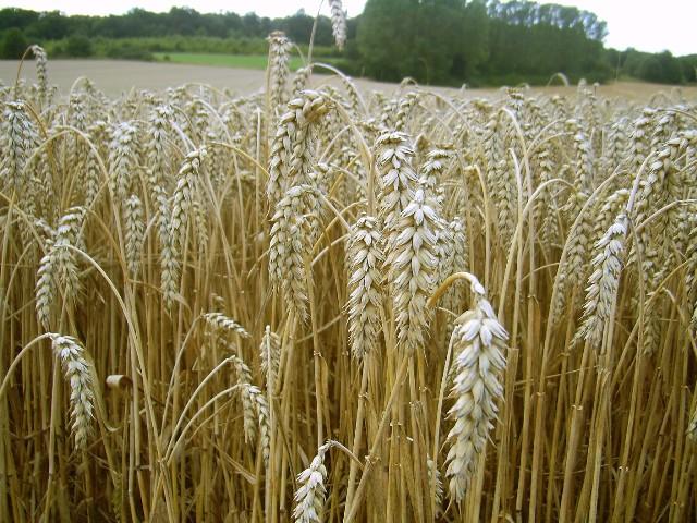 Weizen entstand durch die Aufnahme des gesamten Gensatzes des Wildgrases Aegilops tauschii Coss. in den Emmer. Mehr zu der wichtigen Nahrungspflanze finden Sie hier: Weizen