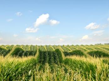 Maisfelder soweit das Auge reicht. Hier im Bild das