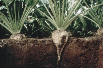 Die Zuckerrübe verankert sich tief im Boden. (Quelle: © GABI-BETA NET)