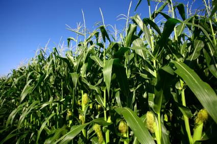 Forschungsergebnisse aus der Arabidopsis-Forschung können direkt auf Nutzplanzen wie den Mais übertragen werden und dienen als Referenz.