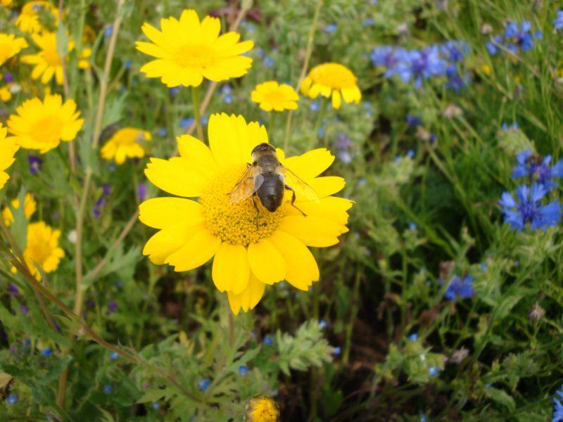 Schwebefliege auf einer Ringelblume. (Bildquelle: © Eilers / MPI für chemische Ökologie)