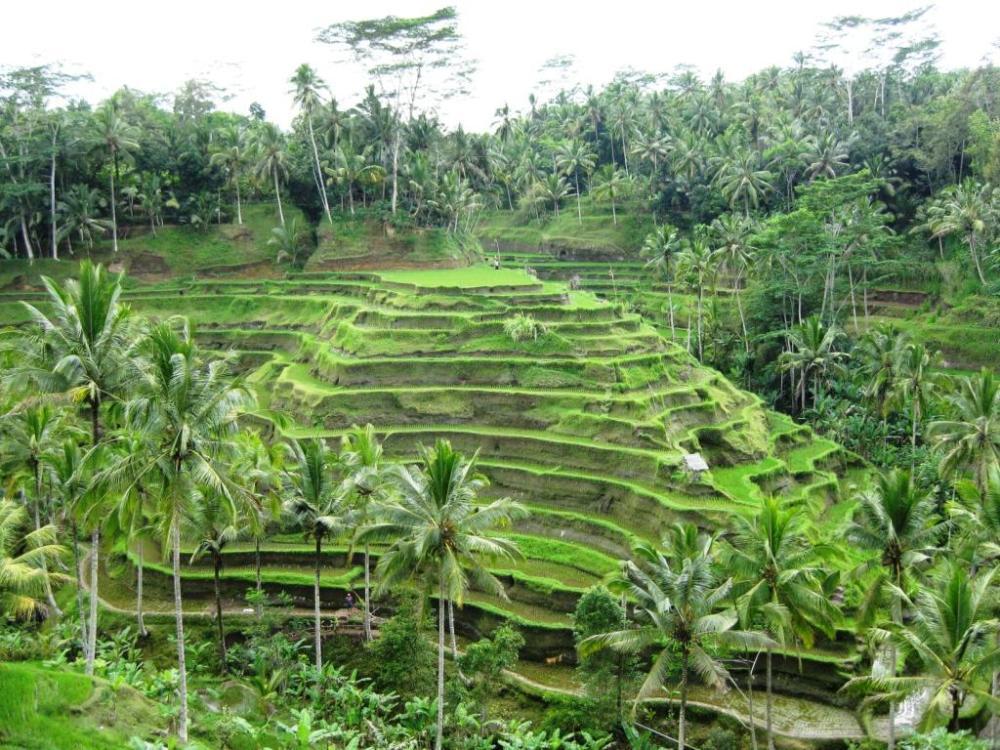 Der Mensch nimmt vielfältig Einfluss auf seine Umwelt. Z. B. durch Terrassenfeldbau fanden Menschen einen Weg, um Kulturpflanzen auch an steilen Hängen anzubauen. Hier:  Reisterrassen  (Quelle: © glasmost / pixelio.de)
