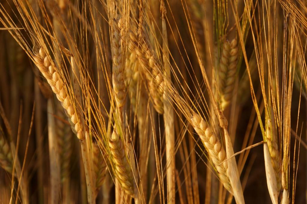 Gerste (Hordeum vulgare L.) ist weltweit eine der bedeutendsten Getreidearten. (Quelle: © Rainer Sturm / pixelio.de)