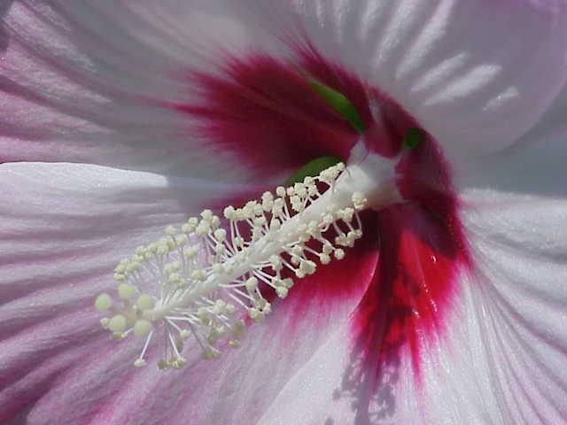 Bei Malvengewächsen und zahlreichen anderen Pflanzen sorgen Klettverschlüsse aus Trichomen dafür, dass die Blütenblätter eine schützende Hülle um die Fortpflanzungsorgane der Pflanze bilden. (Bildquelle: © Kurt Stüber / wikimedia.org / GFDL)