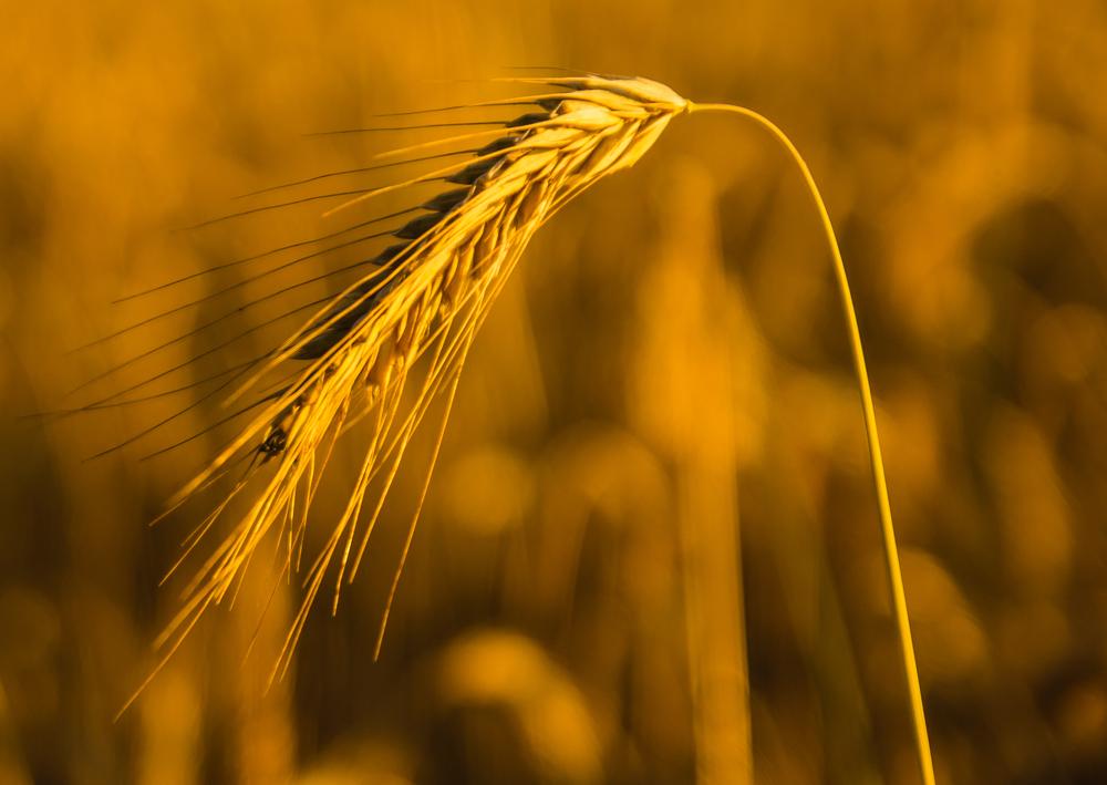 Bei Trockenheit und Hitze reift Getreide zu früh. (Bildquelle: © Oliver Mohr / pixelio.de)