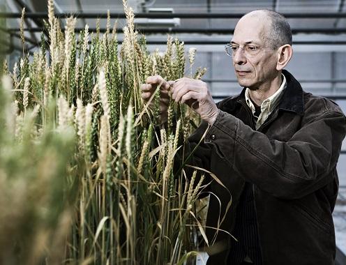 """Professor Weiner untersucht Weizenpflanzen im Gewächshaus. Er forscht in einem neuen Bereich, der """"Evolutionäre Agrarökologie"""" genannt wird."""