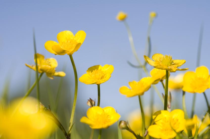 Einige Arten des Hahnenfuß vermehren sich erst nach einer Bestäubung, andere bilden alleine Samen aus, die mit dem Erbgut der Mutterpflanze identisch sind. (Quelle: © iStockphoto.com/ alkir)