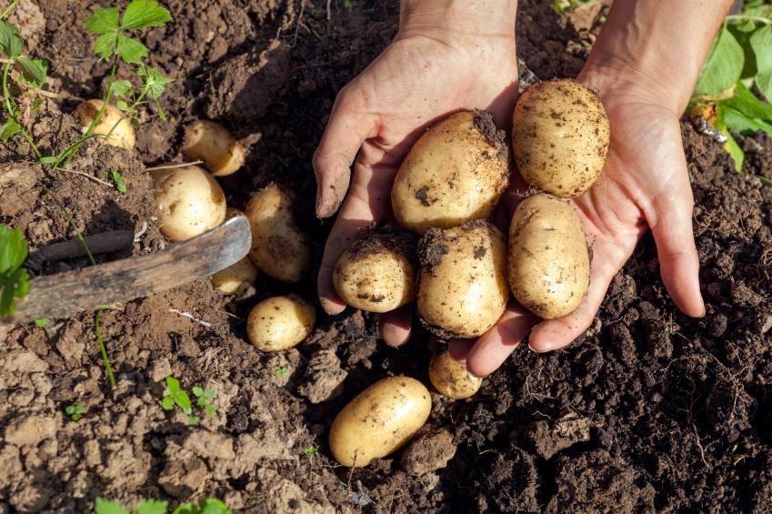 Die Erschließung der Knollengewächse, brachte mehr Kalorien für den Mensch und seine Entwicklung. (Bildquelle: © iStock.com/Alfaproxima)