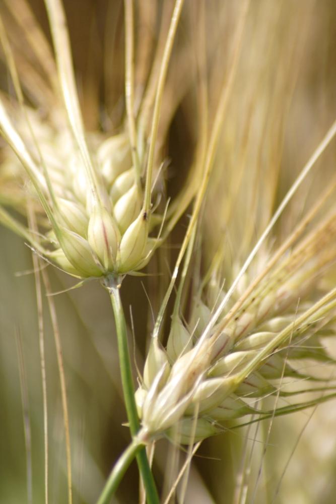 Fester Kornsitz ist ein Merkmal der Kultivierung von Getreide. (Quelle: © Lichtbild-Austria / pixelio.de)