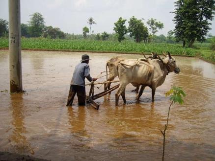 Wasserbüffel unterstützen den Reisbauern bei seiner Arbeit.