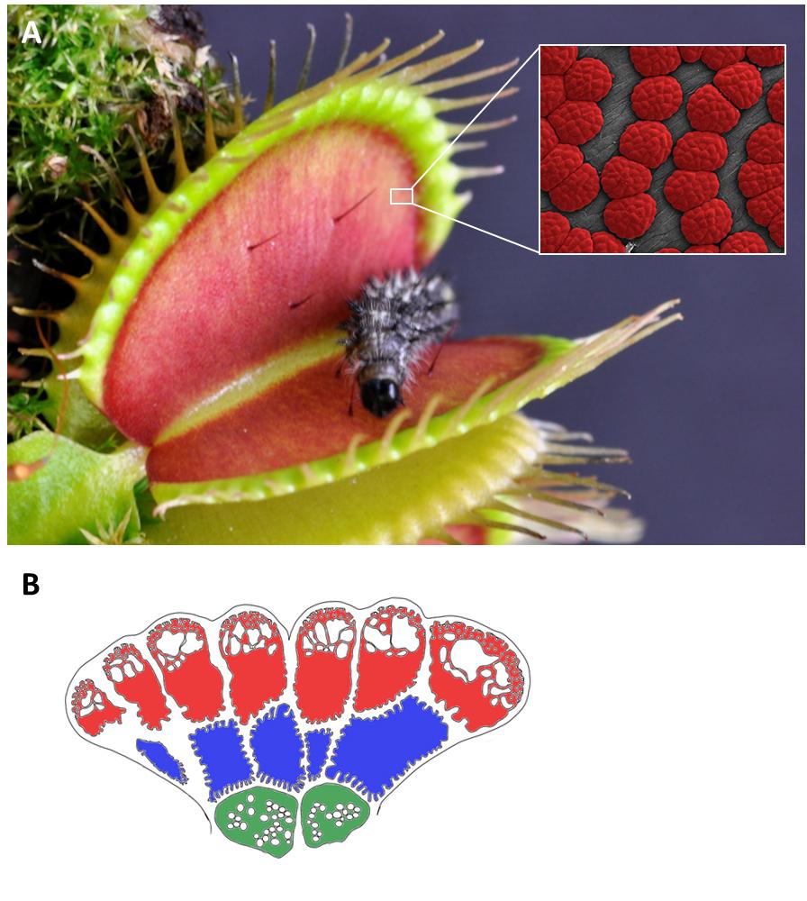 Drüsen im Detail: Der Ausschnitt zeigt einzelne Drüsen unter dem Mikroskop, in der Zeichnung sind die drei Schichten einer Drüse mit ihren typischen Zelltypen dargestellt.