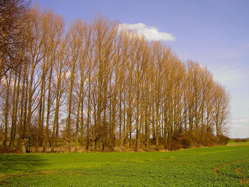 Pappeln gehören zu den schnellwachsenden Baumarten. (Quelle: © Rainer Klinke / www.pixelio.de)
