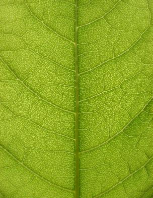 Pflanzen sind mit Pump-Proteinen ausgerüstet, die Saccharose aktiv in die Leitungsbahnen befördern (Quelle: © iStockphoto.com/ ranplett)