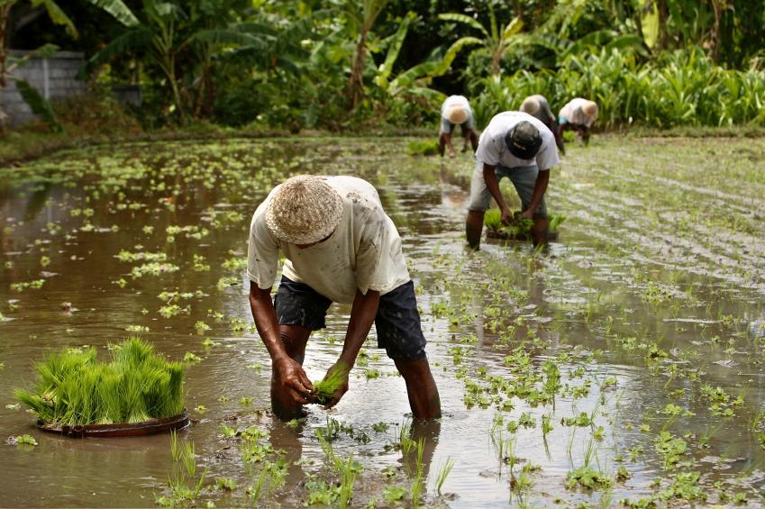 Der Anbau von Reis erforderte Kooperationsbereitschaft und Teamarbeit, wie zum Beispiel das Umsetzen der Reissetzlinge. (Bildquelle: © iStock.com/ Studio1One)