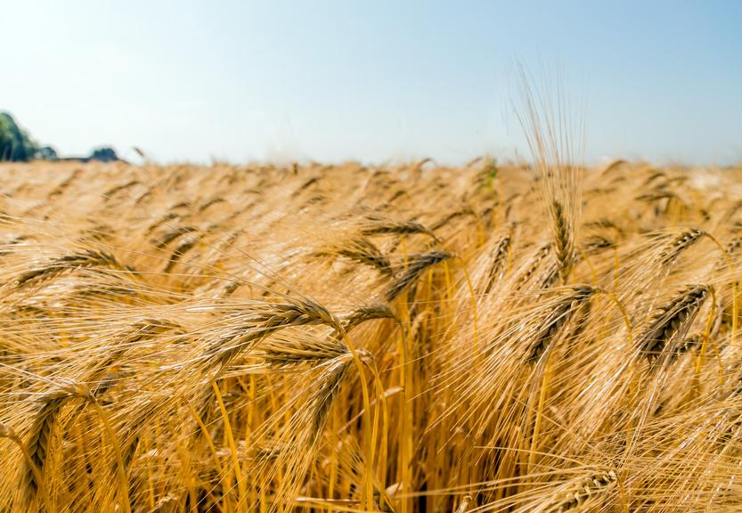 Gerste ist ein wahrer Anpassungskünstler unter dem Nutzpflanzen und wird heute in den verschiedensten Klimazonen der Erde angebaut. (Bildquelle: © Gina Sanders/Fotolia.com)