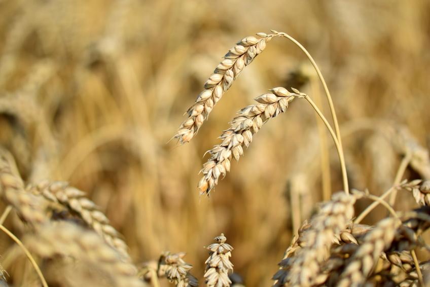 Weizen ist in Deutschland das wichtigste Getreide. (Bildquelle: © Berty / Fotolia.com)