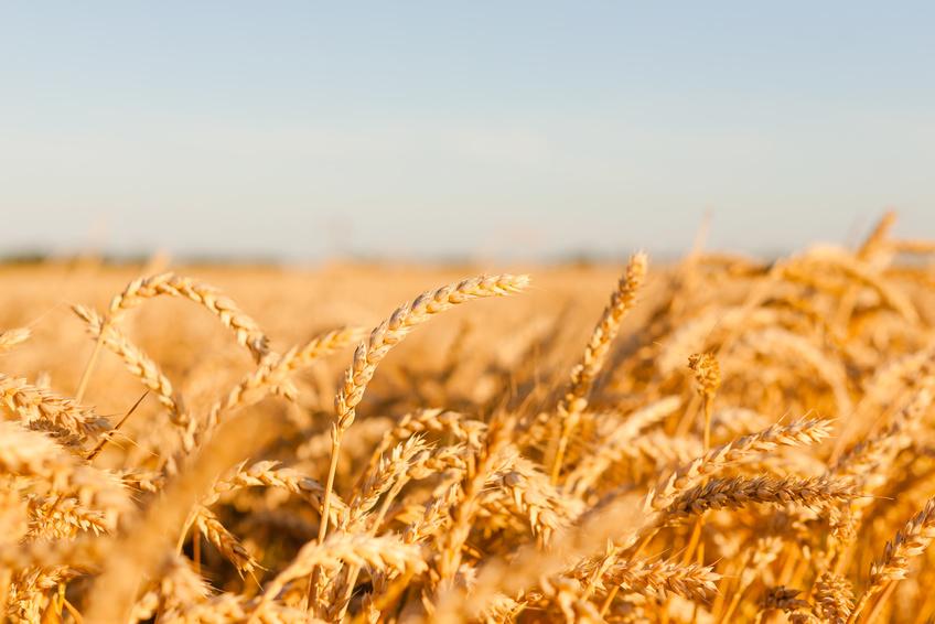 Das Weizengenom ist fünfmal größer als das des Menschen und sogar 35mal größer als das Reisgenom. (Bildquelle: © Violetta / Fotolia.com)
