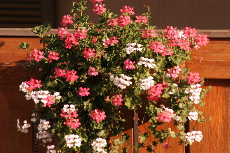 """Pelargonium sidoides gehört zur Familie der Storchschnabelgewächse. In Deutschland kennt man vor allem ihre Verwandten, die sich unter der Bezeichnung """"Geranien"""" großer Beliebtheit als Balkonpflanzen erfreuen."""