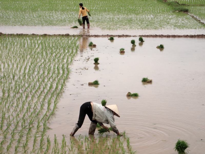 Der Nassreisanbau gilt als eine der größten globalen Methanquellen.