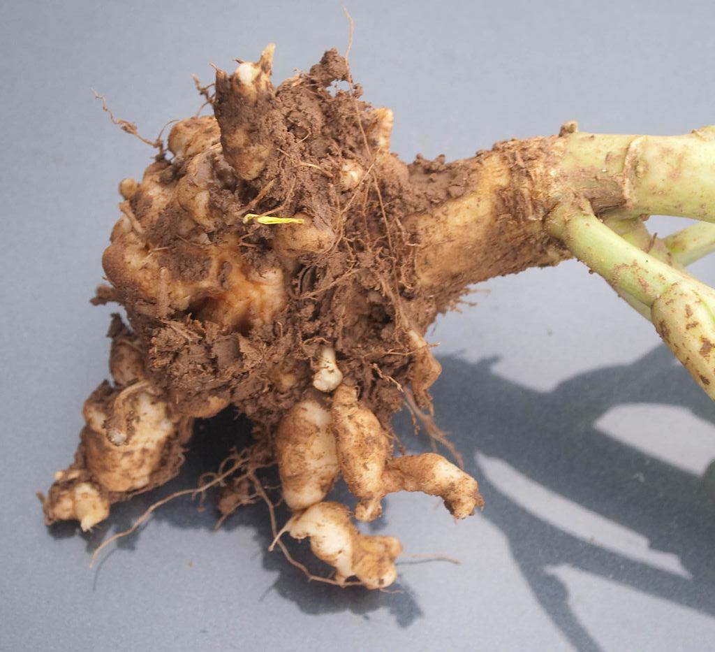 Kohlhernie an Rapswurzel. Befallene Pflanzen weisen Verdickungen und Wucherungen an den Wurzeln auf.