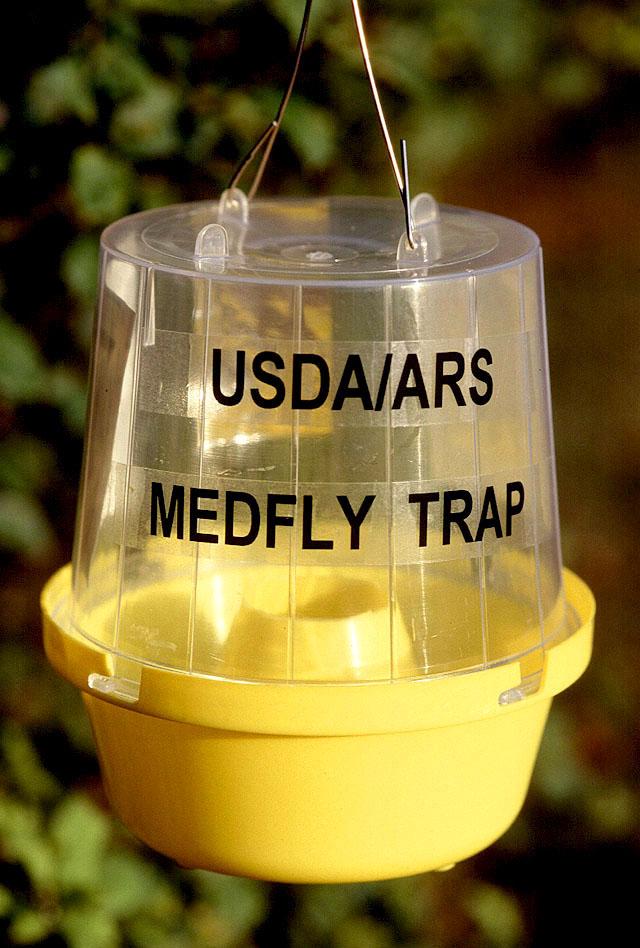 Handelsübliche Falle für Mittelmeerfruchtfliegen. Diese enthalten meist eine Kombination aus chemischen Lockstoffen.