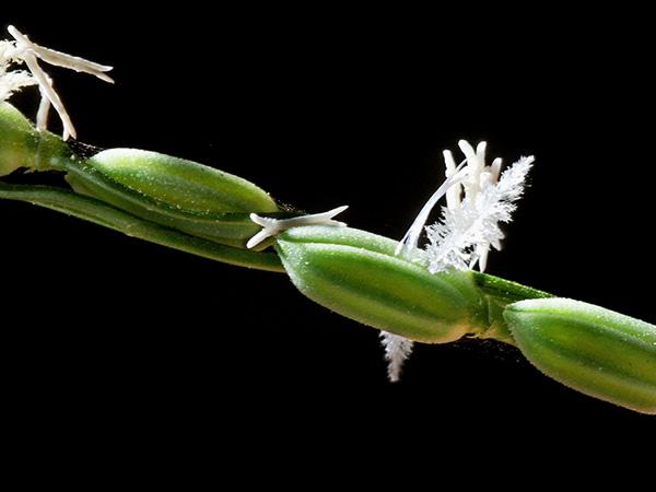 Die wilden Verwandten unseres Reises beherbergen zahlreiche wertvolle Eigenschaften, mit denen sich der moderne Reis verbessern lässt.