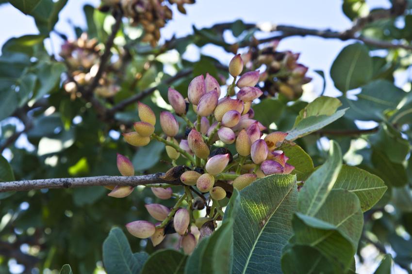 Pistazien am Baum: An der Westküste der USA zeigten Pistazienbäume bereits mehrmals Auffälligkeiten im Wachstum. Die Landwirte und Wissenschaftler verdächtigten das Bakterium Rhodococcus. Zu Unrecht, wie sich jetzt zeigt.