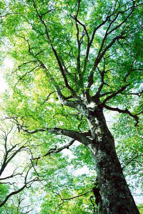 Waldbäume werden interessant für die Genomforschung.